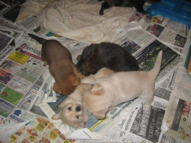 Here manage chiweenie puppies for sale in oregon Amazon verkaufen
