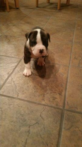 Cute Christmas ready American bulldog puppies