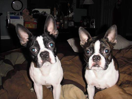 boston terrier puppies for sale in Indianapolis, Indiana ...