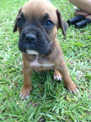 Cute Ckc Boxer Puppies For Sale In Rochelle Georgia Classified