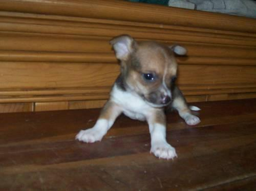 chiuaua puppies for sale in ky cute ckc chihuahua puppies for sale 6 weeks old for sale 4682