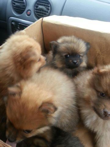 gerberian shepsky puppies for sale in San Antonio, Texas