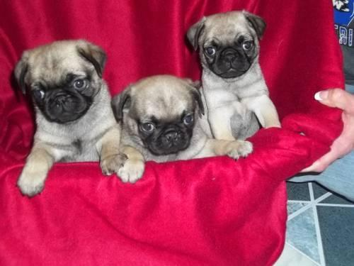 pug breeders mn cute ckc pug puppies for adoption for sale in clinton 5828