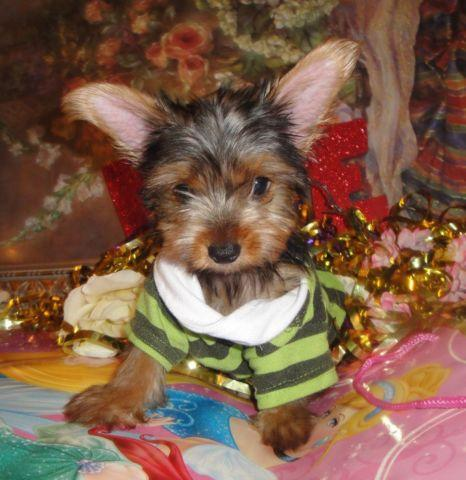 Cute CKC Yorkie Puppies