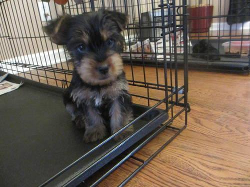 Cute Ckc Yorkie Puppy 8 Weeks Old
