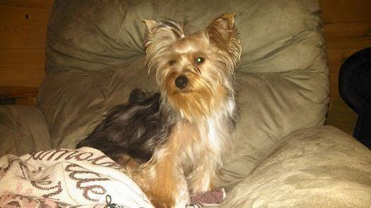 Cute Ckc Yorkie Terrier Puppies For Adoption 4 Weeks Old