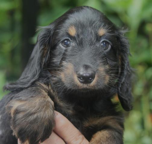 Are Miniature dachshunds hypoallergenic - answers.com