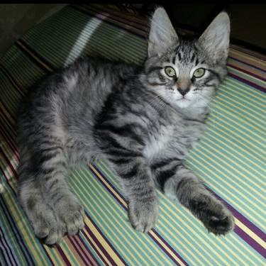 Cute Cuddly Maine Coon Kittens For Sale In Saint Paul Minnesota Classified Americanlisted Com