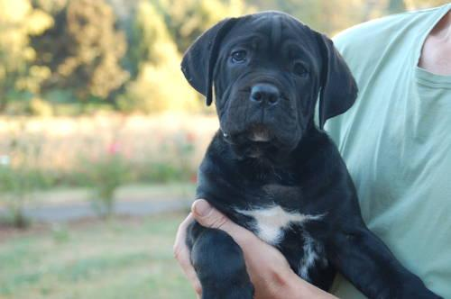 Cute Female Cane Corso Italiano Mastiff Puppy For Sale 11 Weeks Old For Sale In Damascus