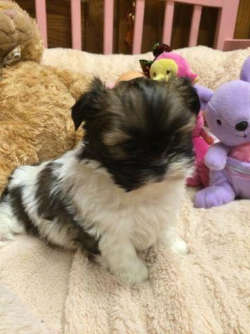 Maltese Shih Tzu Pets And Animals For Sale In Michigan Puppy And
