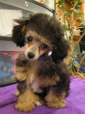 Cute Female Toy Poodle For Sale In Sterling