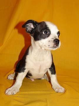 cute french bo chi puppies for sale in east missoula montana