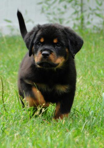 Cute German Rottweiler Puppies For Sale In Rocky Point New York