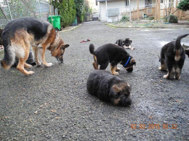 Doxiepoo Puppies For Sale In Portland Oregon Classifieds Buy And