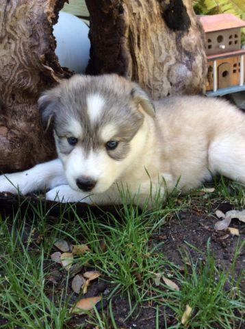 Cute Giant Alaskan Malamute Siberian Husky Puppies For Sale In