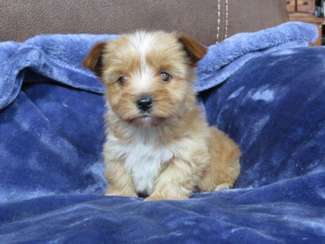 yorkie puppies for sale wilmington nc cute gold yorkie puppies for sale in badin lake north 3908