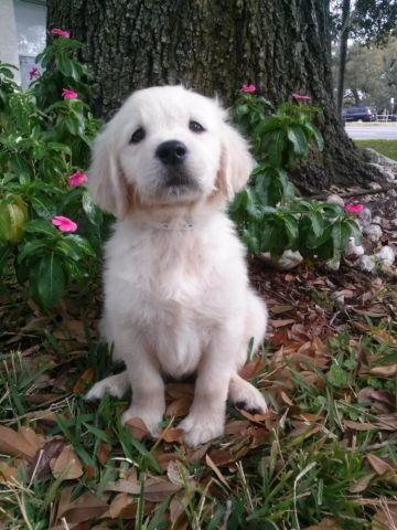 cute golden retriever puppies for sale in tampa florida classified