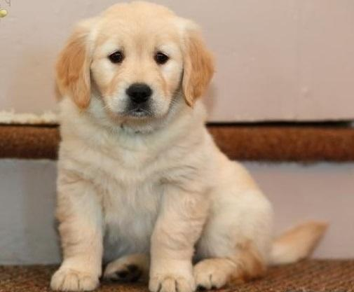 Cute Golden Retriever Puppies For Sale For Sale In Lewes Delaware