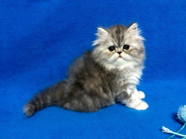 Cute Grey Tabby...