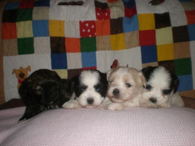 Cute Hava-Tzu puppies