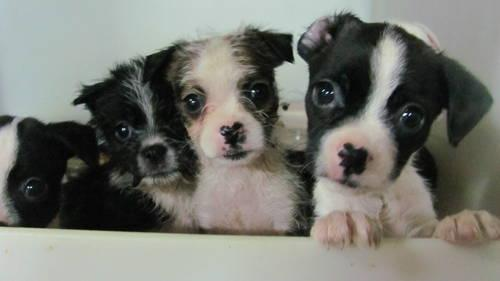boston terrier breeders wi cute havanese cross boston terrier puppies for sale in 9373