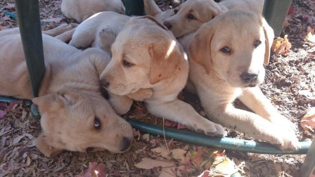 Cute Healthy Akc Purebred Yellow Labrador Puppies For Sale In