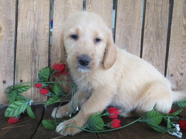 Cute Labradoodle Puppies For Sale In Harrison Arkansas