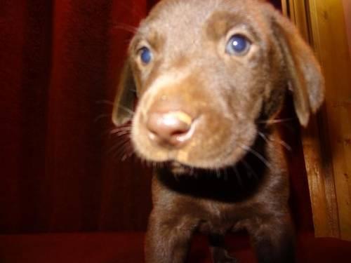 cute chocolate labrador retriever - photo #32