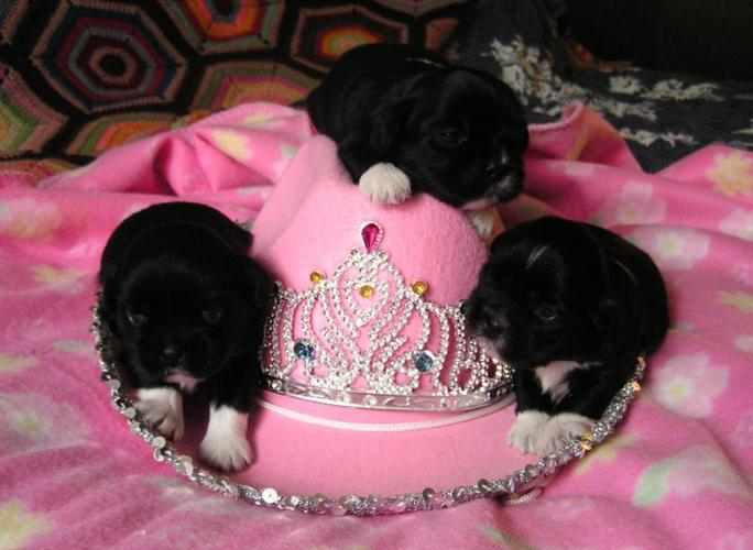 Cute LHASA Apso Puppies