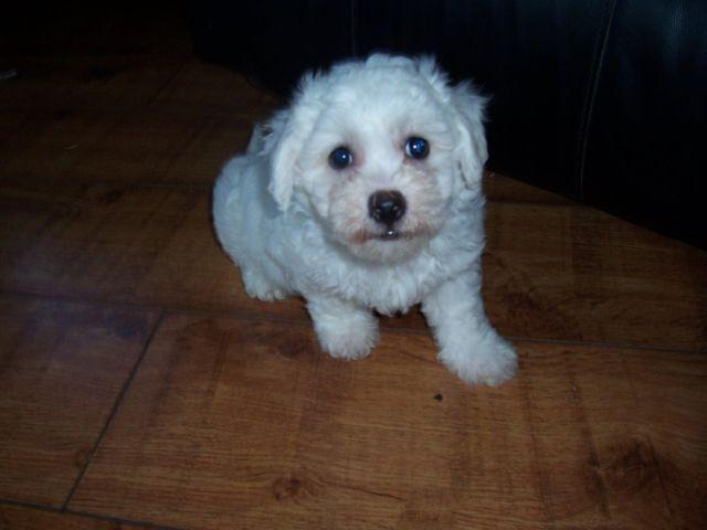 Cute little Bichon males available