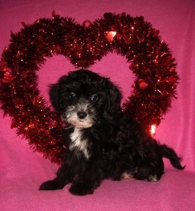 Cute Little Morkie Poo Puppies Morkiepoodle So Sweet For