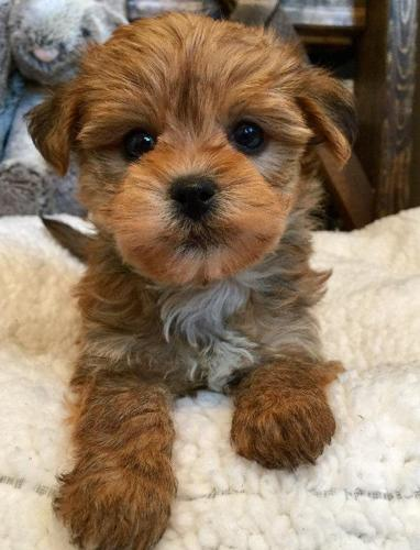 Cute Little Morkie Puppies Maltese X Yorkie For Sale In Borculo