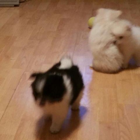 Cute Little Polar Bear Pomeranian Puppies For Sale In Kingsville