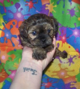 Cute little Shorkies !!!