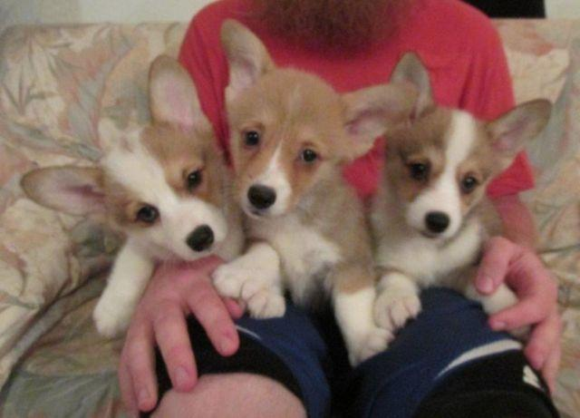 Cute Little Tricolor Pembroke Welsh Corgi Puppies For