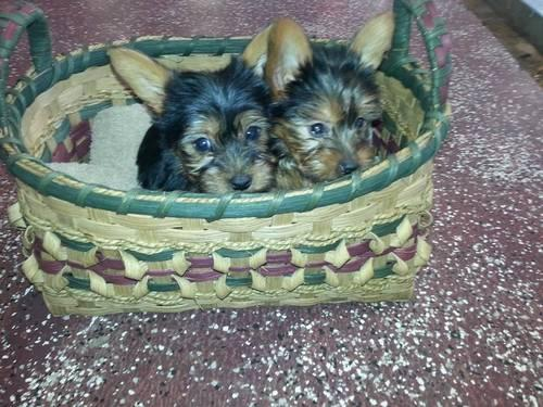 Cute little yorkies for sale