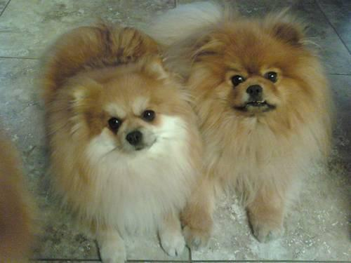 pomeranian california cute loveable male pomeranian puppies for sale 4 1 2 1467