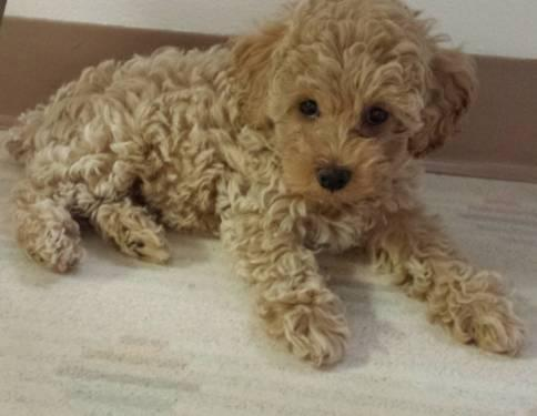 Cute Male Apricot Toy Poodle 9 Weeks Old