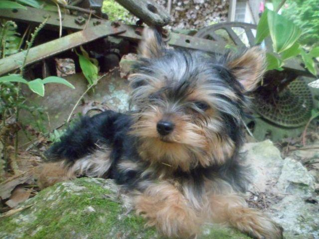 Cute Male Ckc Yorkie Puppy For Sale In Emory Gap Tennessee