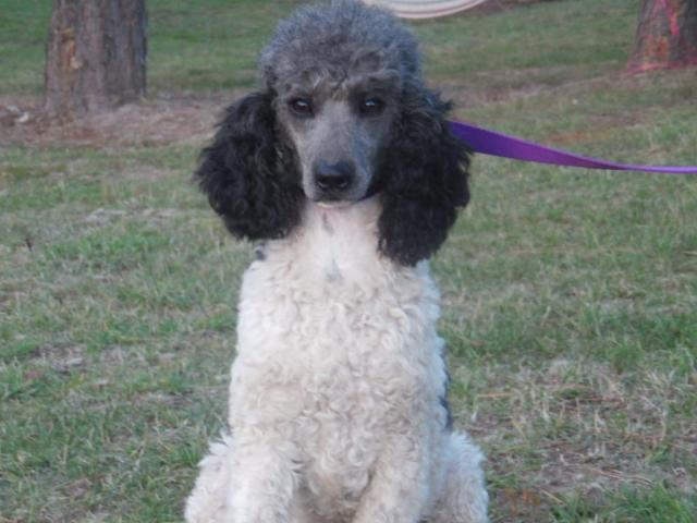 how to train a toy poodle not to bark