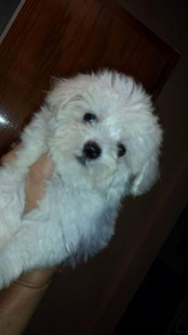 Cute Malitpoo for sale