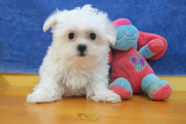 CUTE MALTESE PUPPIES--10 WEEK OLD--MALE