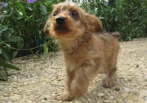 yorkie poo for adoption cute mini yorkie poo for adoption for sale in san antonio 497