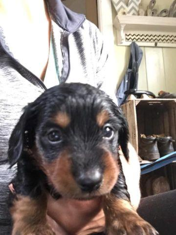 Cute Miniature Black and Tan Long-haired male