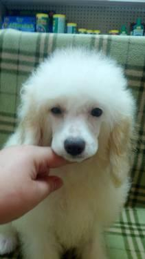 Poodle Stud Pets And Animals For Sale In The Usa Puppy And