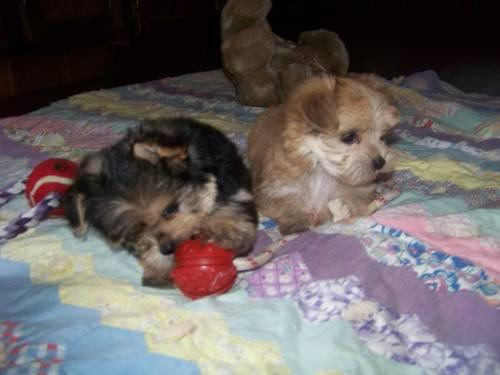 Cute Morkie's for adoption all males.