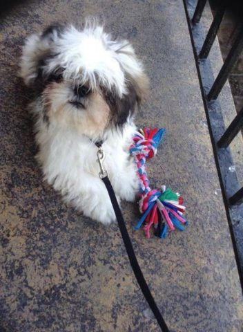 Cute One Year Old Male Shih Tzu For Sale For Sale In Bethlehem West