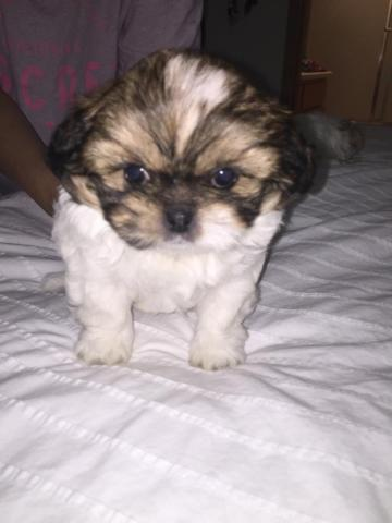 Cute Peekapoo puppies for sale (2 months)