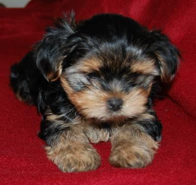 Cute Playful Shorkie Puppies