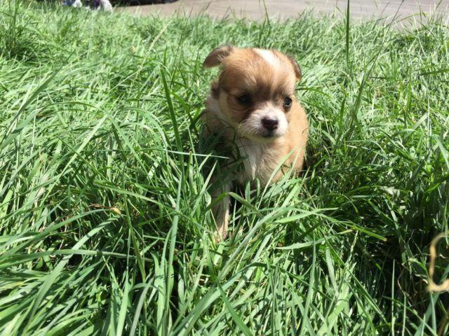 Cute Pomeranian Chihuahua mix Puppies - For adoption. for ...